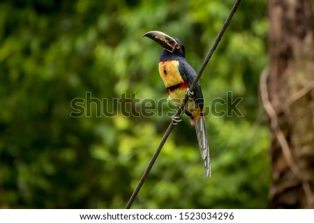Collared aracari, Pteroglossus torquatus, a beautiful toucan-like bird from central america. Common but usually sighted from distance, is an appreciated trophy for birdwatching.