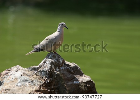 collared dove - stock photo