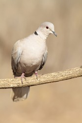 collared dove in its host with blurred background