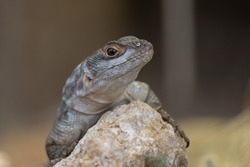 Collared Iguanid lizard ( Oplurus cuvieri ) or Madagascar Spiny Tailed Iguana. Portrait ,close up.