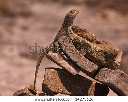 Collared Iguanid (Oplurus cuvieri) on a pile of rocks.  Isalo National Park, Ranohira, Madagascar.