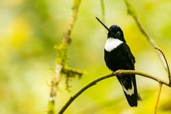 Collared Inca, Coeligena torquata, hummingbird perched on the branch, Guango lodge, Quito, Ecuador