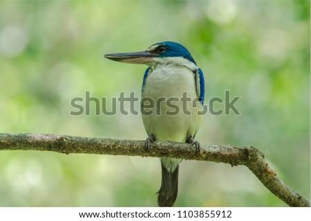 Collared Kingfisher Birde #1103855912