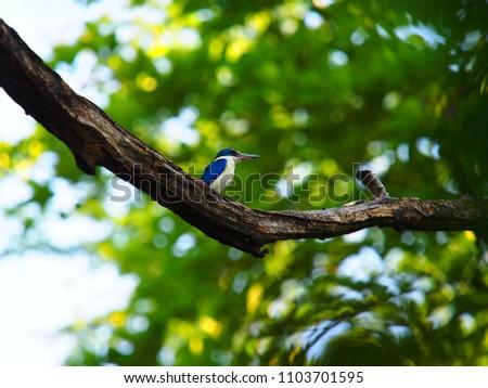 Collared kingfisher. White-collared kingfisher. Mangrove kingfisher. Collared kingfisher and bokeh background. #1103701595