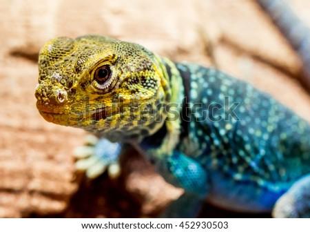 Collared Lizard #452930503