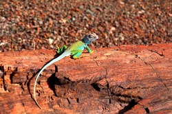 Collared Lizard Crotaphytus collaris