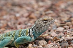 Collared lizard - Crotaphytus collaris