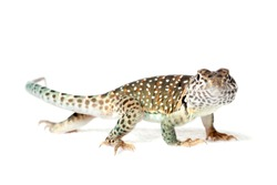 Collared lizard isolated on white background