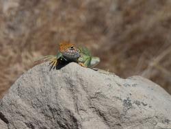 Collared Lizard on a Rock facing camera