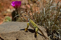 Collared lizard suns itself trail-side in the hills near Sedona, Arizona, with magenta blossom in the background.