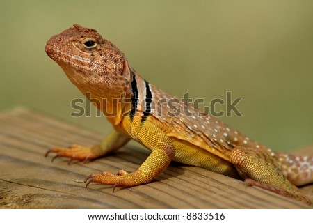 Oklahoma Lizards Pictures http://www.shutterstock.com/pic-8833516/stock-photo-collared-or-boomer-lizard-in-oklahoma.html