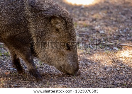 Collared peccary, or javelina, using its snout to forage for food.