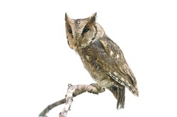 Collared scops owl isolated on white background