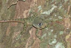Collared tree lizard, tree runner (Plica umbra). This wild animal was found in Amazon rainforest near the village Balbina, Amazon state, Brazil