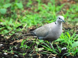 Collared turtle dove (Streptopelia decaocto) feeding on the lawn. Caucasus.
