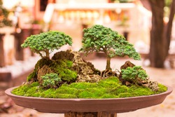 Collected tree bonsai