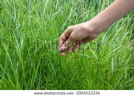 Collecting Healing Horsetail Herbs. Hand picking off medicinal herbs Equisetum arvense for making healthy tea or infusion. Wild summer herbs in the meadow, used for homeopathy. Selective focus Photo stock ©