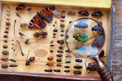 Collecting insects on pins and magnifying glass. Amateur or homemade insect  entomologist collection. search and study wild nature. close up