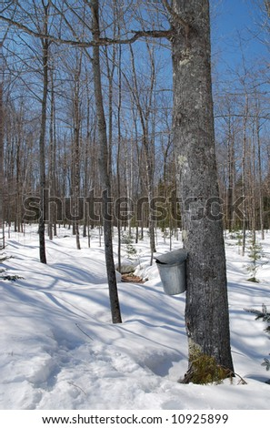 Collecting sap to make maple syrup