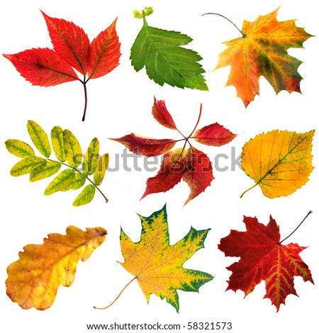 collection beautiful colorful autumn leaves close up isolated on white background