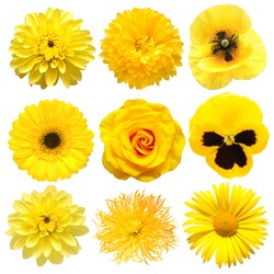 Collection beautiful head yellow flowers of dahlia, gerbera, chrysanthemum, pansies, daisy, rose, poppy isolated on white background. Beautiful floral delicate composition. Flat lay, top view