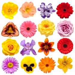 Collection flowers tulip, calendula, rose, iris, lily, gerbera, pansies, daisy isolated on white background. Creative spring composition, Easter, Valentine's Day. Flat lay, top view