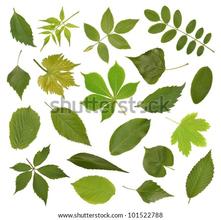 Collection green tree leaves, high resolution isolated on white
