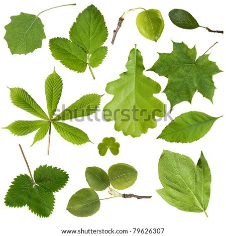 Collection green tree leaves. Isolated on white background