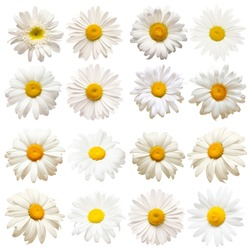Collection head daisies flowers isolated on white background. Perfectly retouched, full depth of field on the photo. Flat lay, top view. Floral pattern, object