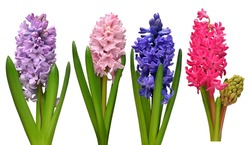 Collection hyacinth flower head isolated on a white background. Spring time. Easter holidays. Garden decoration, landscaping. Floral floristic arrangement. Flat lay, top view