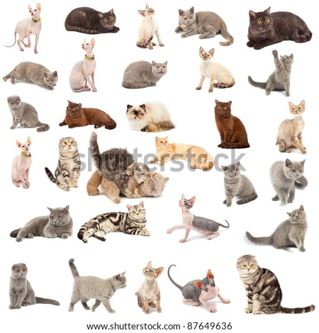 Collection of a cats in different poses and different species isolated over white background