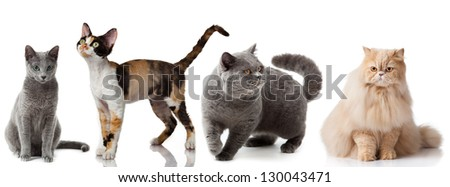 Collection of a cats isolated over white background. Russian Blue cat. Devon Rex cat.  British shorthair cat. Persian cat. group of  cats.