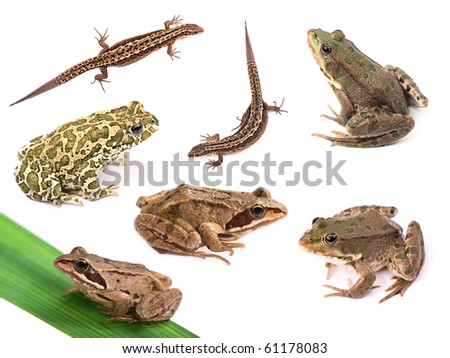 Collection of amphibians and reptiles ( frogs, toads, lizards ) isolated on white background