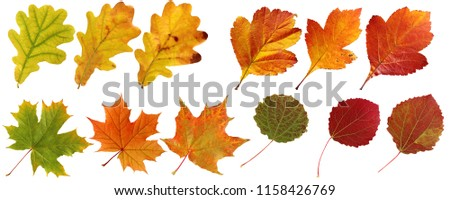 Collection of autumn leaves: oak, maple, hawthorn, aspen. Set of yellow, orange and red leaf, isolated on white background. Herbarium, botany.