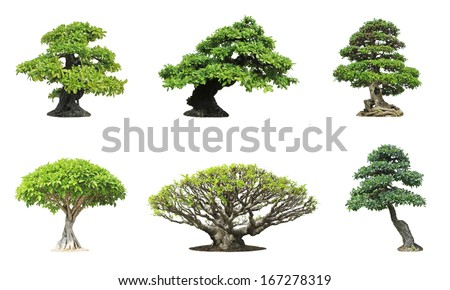 Collection of banyan or ficus bonsai tree isolated on white background