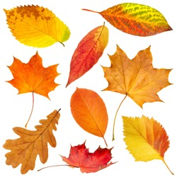 Collection of beautiful colorful autumn leaves isolated on white background
