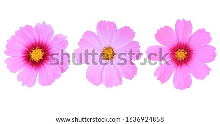 Photo of  Collection of beautiful shape pink cosmos flower isolated on white background.