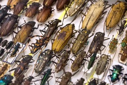 Collection of beetle with pin. Insect collection of entomologist. The exhibition bugs in the museum.