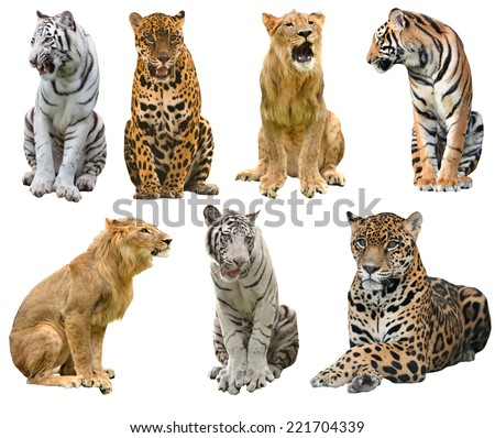 collection of  big cat (panthera) isolated on white background #221704339