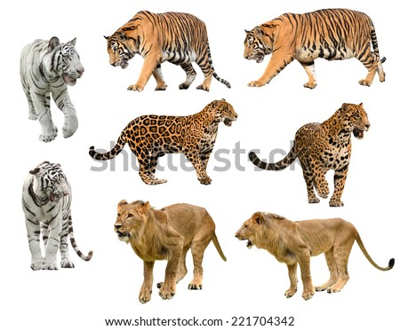 collection of  big cat (panthera) isolated on white background #221704342