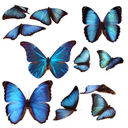 Collection of blue morpho butterflies