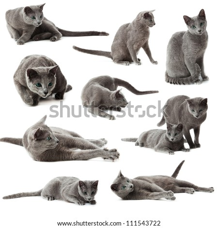 Collection of blue russian cats on  white background. - stock photo