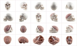 Collection of brain and skull isolated