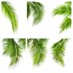 collection of coconut leaves isolated on white background, clipping path included