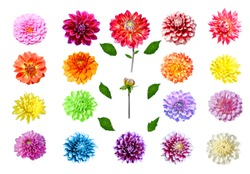 Collection of colorful dahlia flowers isolated on white background with leaves and stalks