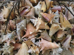 Collection of Conch Shells on Jamaican Beach