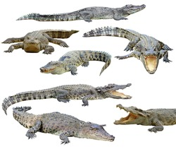 collection of  crocodile isolated on white background