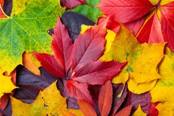 Collection of different autumn colored leaves, texture background