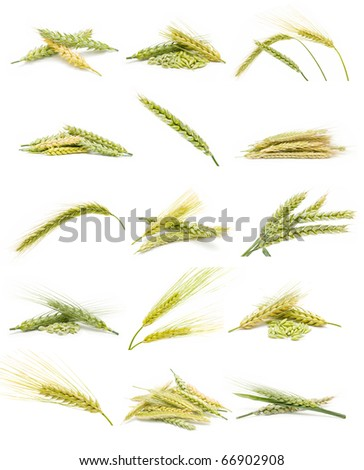 collection of ears of corn i