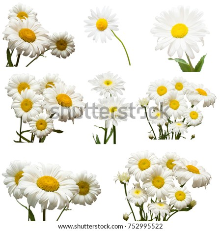 Collection of flowers white daisy isolated on white background